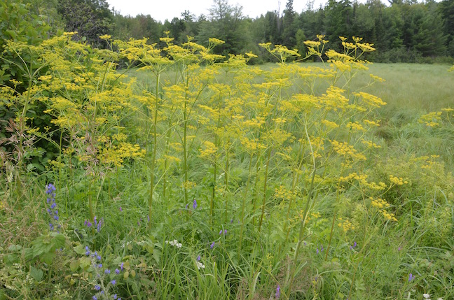 Wild Parsnip Black Creek