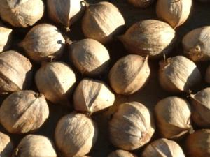 hickory nut